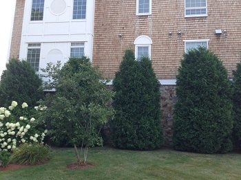 American Arborvitae Before Tree Pruning Solution Services
