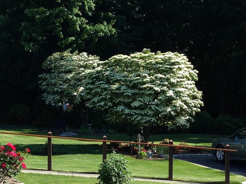 Selectively Pruned Kousa Dogwoods